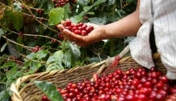 Giá cà phê hôm nay 11/10: Thị trường nội địa chưa có nhiều khởi sắc