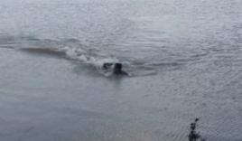 Bị cá sấu truy đuổi, người đàn ông dùng hết sức bình sinh bơi trở lại bờ