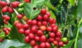 Giá cà phê hôm nay 20/10: Đồng loạt tăng trên mọi thị trường