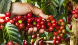Giá cà phê hôm nay 22/9: Giá cà phê trong nước đứng yên trước thềm mùa vụ mới
