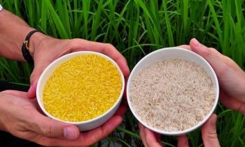Giá lúa gạo hôm nay 9/10: Lúa gạo đều có xu hướng đi ngang