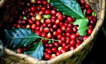 Giá cà phê hôm nay 13/9: Thị trường trong nước đồng loạt giảm nhẹ