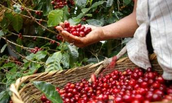 Giá cà phê hôm nay 21/9: Giá cà phê Robusta tiếp đà tăng, thị trường nội địa giảm nhẹ