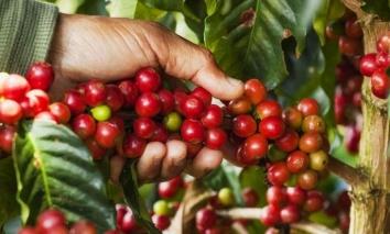 Giá cà phê hôm nay 21/10: Thị trường nội địa bật đà tăng