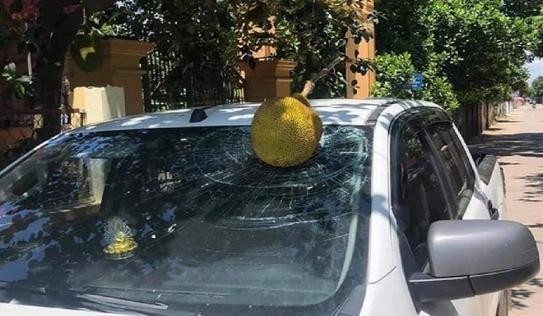 Đỗ ô tô dưới bóng cây cho mát, chủ xe khóc thét được 'tặng' quả mít đắt nhất Việt Nam