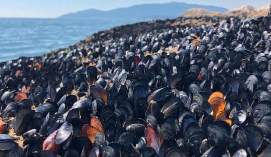 Nắng nóng kỷ lục nướng chín vẹm tại Canada