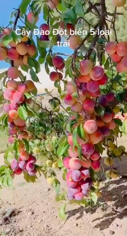 Cây đào 'đột biến' cho quả mọc kín từ thân lên đến cành, dân tình phát ham liền định giá 10 tỷ 2