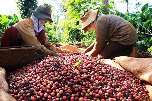Giá cà phê hôm nay 13/9: Thị trường trong nước đồng loạt giảm nhẹ 2