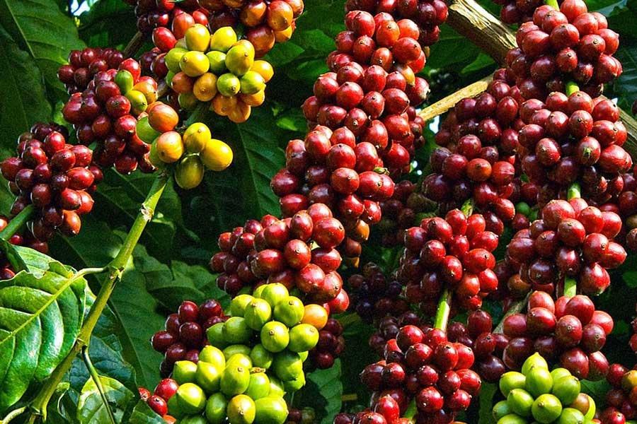 Giá cà phê hôm nay 20/9: Giá cà phê nội địa vẫn ở mức cao 1