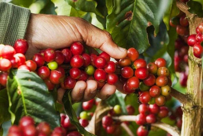 Giá cà phê hôm nay 23/9: Thị trường nội địa giảm nhẹ, giá cà phê Robusta bất ngờ quay đầu 1